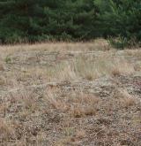 Otevřené trávníky vátých písků s paličkovcem šedavým <i>(Corynephorion canescentis)</i> / Porost