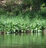 Rákosiny a ostřicové porosty podél tekoucích vod <i>(Phalaridion arundinaceae)</i> / Porost