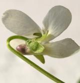 violka křovištní <i>(Viola suavis)</i> / Květ/Květenství