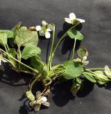 violka křovištní <i>(Viola suavis)</i> / Habitus