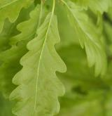dub zimní <i>(Quercus petraea)</i> / List