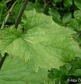 havez česnáčková <i>(Adenostyles alliariae)</i> / List