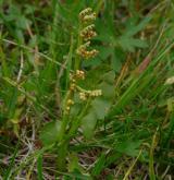 vratička měsíční <i>(Botrychium lunaria)</i> / Habitus