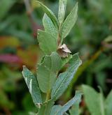vrba laponská <i>(Salix lapponum)</i> / List