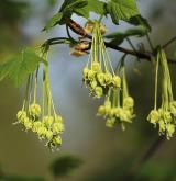 javor tupý <i>(Acer obtusatum)</i> / Květ/Květenství