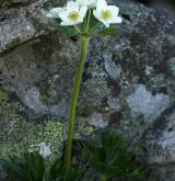 sasanka narcisokvětá <i>(Anemone narcissiflora)</i> / Květ/Květenství