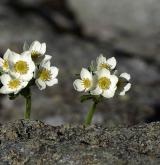 sasanka narcisokvětá <i>(Anemone narcissiflora)</i> / Habitus