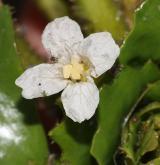 kotvice plovoucí <i>(Trapa natans)</i> / Květ/Květenství