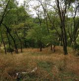 Druhově chudé akátiny s travnatým podrostem na písčitých půdách <i>(Balloto nigrae-Robinion pseudoacaciae)</i> / Porost