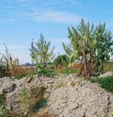 Ruderální vegetace vzpřímených jednoletých bylin <i>(Atriplicion)</i> / Porost
