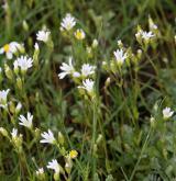 rožec pochybný <i>(Cerastium dubium)</i> / Porost