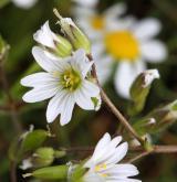 rožec pochybný <i>(Cerastium dubium)</i> / Květ/Květenství