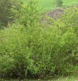 Mezofilní a suché křoviny nelesního prostředí <i>(Berberidion)</i> / Porost