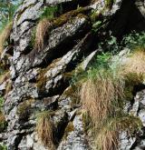 Štěrbinová vegetace hadcových skal <i>(Asplenion cuneifolii)</i>