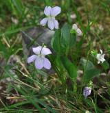 violka psí <i>(Viola canina)</i> / Habitus