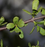 ochmet evropský <i>(Loranthus europaeus)</i> / List