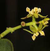 ochmet evropský <i>(Loranthus europaeus)</i> / Květ/Květenství