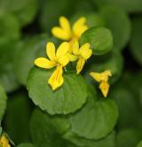 violka dvoukvětá <i>(Viola biflora)</i> / Květ/Květenství