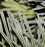 jedle holophylla <i>(Abies holophylla)</i> / List