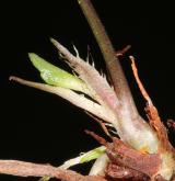 violka  <i>(Viola ×dubia)</i> / List