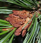 borovice osinatá <i>(Pinus aristata)</i> / Květ/Květenství