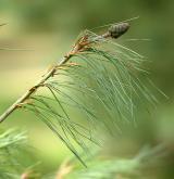 borovice Armandova <i>(Pinus armandii)</i> / List