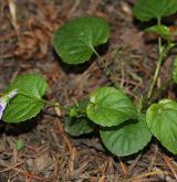 violka lesní <i>(Viola reichenbachiana)</i> / Habitus