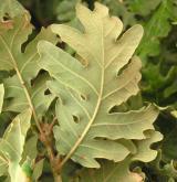 dub pyrenejský <i>(Quercus pyrenaica)</i> / List
