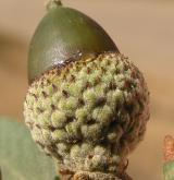 dub okrouhlolistý <i>(Quercus rotundifolia)</i> / Plod
