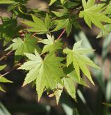 javor dlanitolistý <i>(Acer palmatum)</i> / kultivary