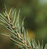 borovice jednolistá <i>(Pinus monophylla)</i> / List