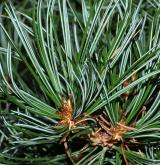 borovice drobnoklvětá <i>(Pinus parviflora)</i> / List