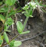 rožec klubkatý <i>(Cerastium glomeratum)</i> / Habitus