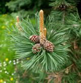 borovice Heldreichova <i>(Pinus heldreichii)</i> / Květ/Květenství