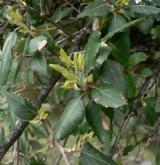 dub korkový <i>(Quercus suber)</i> / List