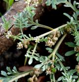 vranožka šupinatá  <i>(Coronopus squamatus)</i> / Habitus