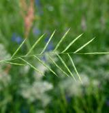 válečka skalní <i>(Brachypodium rupestre)</i> / Květ/Květenství