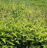 Ruderální vegetace dvouletých až víceletých druhů na mělkých kamenitých substrátech <i>(Dauco carotae-Melilotion)</i> / Porost