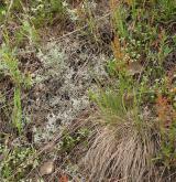Podhorská acidofilní vegetace mělkých půd <i>(Hyperico perforati-Scleranthion perennis)</i> / Detail porostu