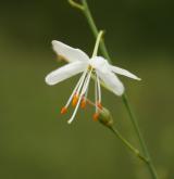 bělozářka větevnatá <i>(Anthericum ramosum)</i> / Květ/Květenství