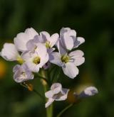 řeřišnice luční <i>(Cardamine pratensis)</i> / Květ/Květenství