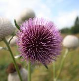 pcháč bělohlavý <i>(Cirsium eriophorum)</i> / Květ/Květenství