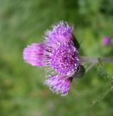 pcháč potoční <i>(Cirsium rivulare)</i> / Květ/Květenství