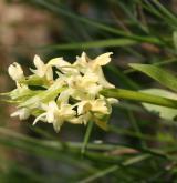prstnatec bezový <i>(Dactylorhiza sambucina)</i> / Květ/Květenství