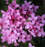 lýkovec vonný <i>(Daphne cneorum)</i> / Květ/Květenství