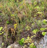 Podhorská acidofilní vegetace mělkých půd <i>(Hyperico perforati-Scleranthion perennis)</i>