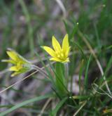 křivatec rolní <i>(Gagea villosa)</i> / Květ/Květenství