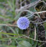 koulenka prodloužená <i>(Globularia bisnagarica)</i> / Květ/Květenství