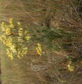 smil písečný <i>(Helichrysum arenarium)</i> / Habitus