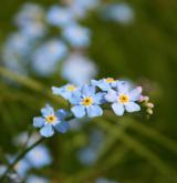 pomněnka bahenní <i>(Myosotis palustris)</i> / Květ/Květenství